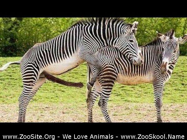 The Zebra Animal Sex Funny | Zoo Sex Site №1