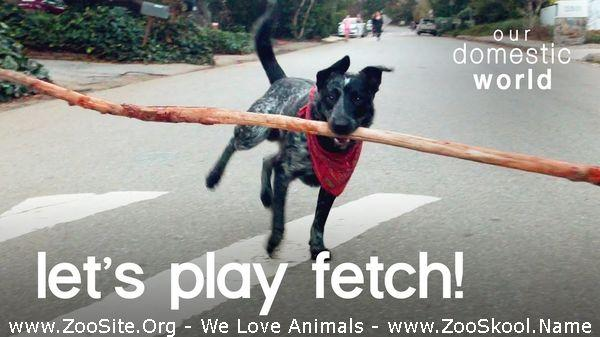 177152107 0055 fun dog fetches the worlds biggest stick our domestic world - Dog Fetches The World's Biggest Stick!! Our Domestic World