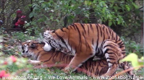 177152141 0063 fun siberian tiger mating   ahimsa and jegor   tierpark hellabrunn - Siberian Tiger Mating - Ahimsa And Jegor - Tierpark Hellabrunn
