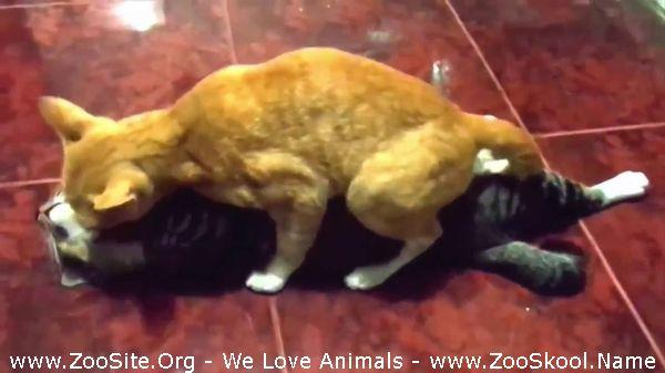 177152318 0096 fun partcats mating hard and fast up close funny animals mating compilation - Partcats Mating Hard And Fast Up Close Funny Animals Mating Compilation
