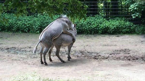 177152335 0099 fun parenje zebri zebra befruchtung zebra fertilization - Parenje Zebri Zebra Befruchtung Zebra Fertilization